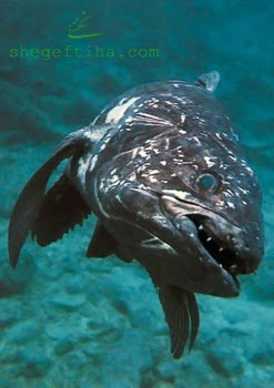 http://up2www.com/uploads/098701-Coelacanth.jpg
